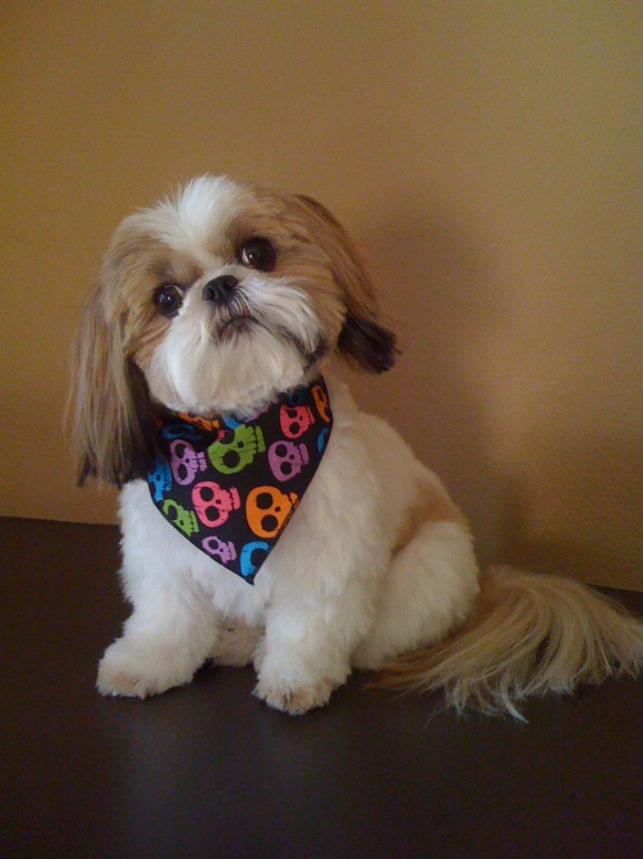 Lynette's quite darling, if we do say so, Shih Tzu, Chibi.